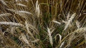 Big field of ripe wheat. stock footage
