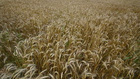 Big field of ripe wheat. Stock Photography