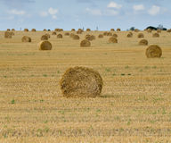 Big field with round sheaves of yellow straw after a crop harvest Stock Photos