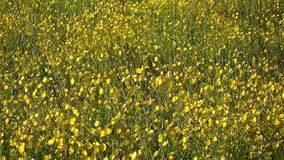Big field of shining yellow flowers stock footage