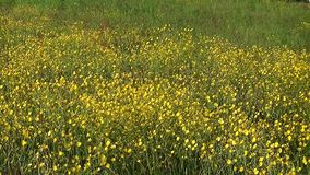 Big field of shining yellow flowers stock video