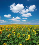 Big field of sunflowers Royalty Free Stock Photos