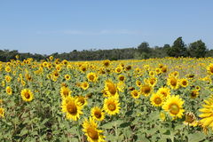 Big field of sunflowers. Royalty Free Stock Photography