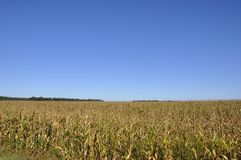 Big field of sweet corn in gold colors with blue sky.  Stock Photos