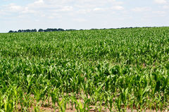 Big field with young plants of corn Royalty Free Stock Image