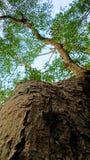 Big fig tree Stock Photo