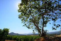 Big fig tree in vineyard Stock Photos