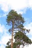 Big fir. Blue sky and clouds Stock Photos