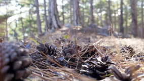 Big fir-cones in the forest. Big fir-cones and coniferous needles in the forest stock video footage