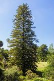 Big Fir Tree In The Park Royalty Free Stock Photography