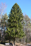 Big fir tree Stock Photography