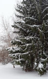 A big fir tree in winter Royalty Free Stock Photos
