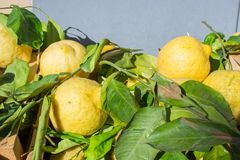 Big firm yellow lemons with green leaves in Sorrento street market. Italy. Very big firm yellow fresh ripe flawless lemons with green leaves in Sorrento street royalty free stock photo