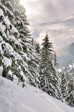 Snowy firs at sunset. Big firs in alpine snowy forest at sunset Stock Images