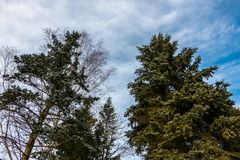 Big firs near the forest. And high trees stock photos