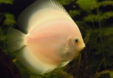 Big fish. Float in an aquarium Royalty Free Stock Photo