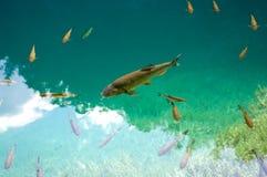 Big fish Royalty Free Stock Photo