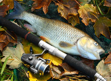 Big fish. Picture of a trophy fish. The Big European Chub (Squalius cephalus) on a landing net stock photography
