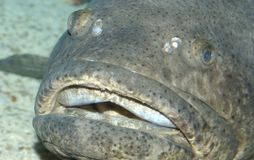 Big Fish. A large fish with its mouth open royalty free stock photo