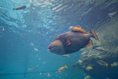Big fish. Tropical fish swimming in the aquarium Stock Images