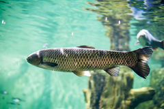 Big fish in the aquarium royalty free stock photography