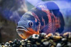 Big fish astronotus swims in a clean aquarium. Look at the aquar. Ium fish Stock Photo