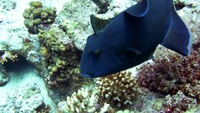 Big fish, blue Redtooth triggerfish in Red Sea. Big fish, blue Redtooth triggerfish, Odonus Niger, following scuba diver stock video