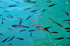Big fish in blue water Royalty Free Stock Photos