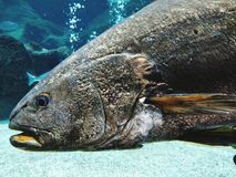 Big fish. Big brown fish stock photos