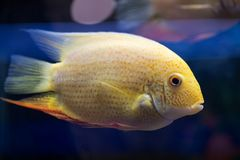 Big fish cichlasoma severum yellow floats in the aquarium. Look. At the fish royalty free stock image