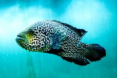 Big fish in clear and clear blue water, close up the beauty of the underwater world royalty free stock images