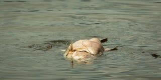 Big fish die in water. Big fish die floating in rotten water royalty free stock photography