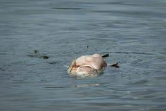 Big fish die in water. Big fish die floating in rotten water stock photo