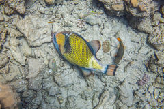 Big fish eating corals. Big titan triggerfish eating corals. Red Sea, Egypt, underwater. Surrounded with 3 thalassomas and one medium size orange-lined Stock Photos