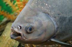 Big fish. At the fish tank Royalty Free Stock Image