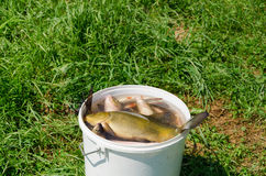 Big fish fishing catch in bucket water on meadow Royalty Free Stock Images