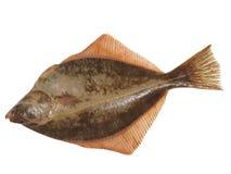 Big Fish Flounder Stock Photography