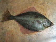 Big fish flounder Stock Image