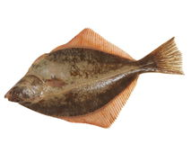 Big fish flounder Stock Photography