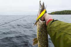 Big fish in hands of fisherman. Fisherman caught and  holding big pike fish. Concepts of successful fishing Stock Photos