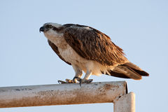 Big fish hawk Royalty Free Stock Photos