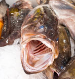 Big fish with huge open mouth Stock Images