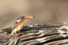Big fish little bird. Big fish in malachite kingfisher mouth Royalty Free Stock Photo