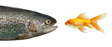 Big fish, little fish. A big fish and a little goldfish royalty free stock image