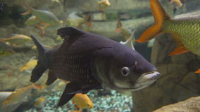 Big fish looking straight into the camera. fish in water. Seaquarium: the rare fish in the aquarium. Fish in the water. Big fish looking straight into the stock video