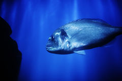 Big fish in ocean Royalty Free Stock Image