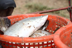 Big fish on the orange basket for sell Royalty Free Stock Photography