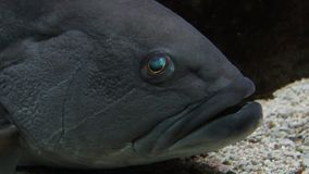Big Fish staring. Close up of head and eyes. stock video