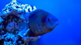 Big fish swims in aquarium stock video footage