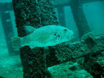 Big fish under water Royalty Free Stock Images